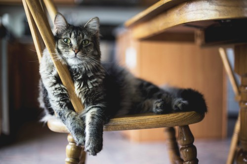 Gray and black cat resting on a wooden chair